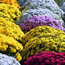 Kolorowe chryzantemy, zdjecie przedstawiajace ustawione obok sienie kolorowe kwiaty